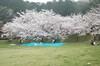 miyajitakesakura0004_syukusyou